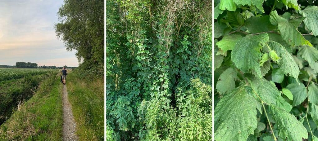 collage of three images side by side. Left: family walking alongside a German field. middle: image of wild blackberry bushes. right: close up of a blackberry beginning to grow on a bush.